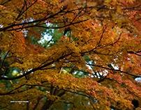 旧細川刑部邸の紅葉 RED LEAVES OF KYU-HOSOKAWA GYOUBUTEI