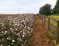 Cotton Fields in Alabama