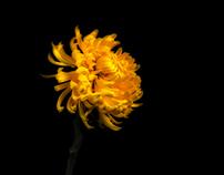 Chrysanthemum [Yellow]
