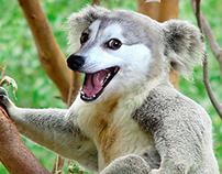Hybrid - Syberian Husky + Koala Bear
