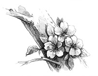 Cherry blossom - drawing in pencil