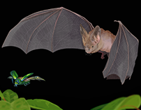 Disc-nosed Bat