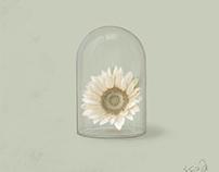 Fade of sunflower
