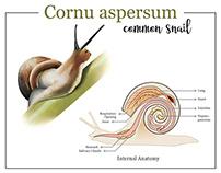 Cornu aspersum
