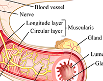 Muscle Layers of the Gastrointestinal Tract
