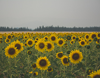 Deer Park Sunflowers