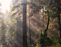 Drive in the Redwood Forest