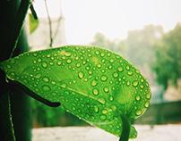 Money Plant in Monsoon...