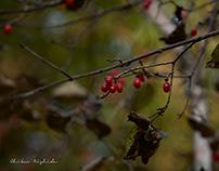 RED FRUIT IN HAKENOMIYA PARK, KUMAMOTO, JAPAN