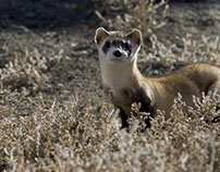 Peanut Butter Pellets on Montana to Save Wild Ferrets