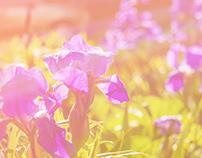 Purple Iris Flowers Wallpaper