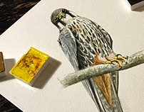 Falco Subbuteo Little Study Watercolor.