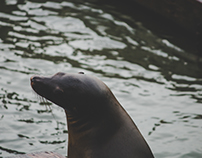 San Francisco, CA: Sea Lions of Pier 39