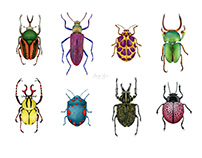 Watercolor Beetle Illustration