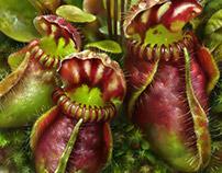 Cephalotus. The carnivorous plant