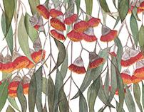 Silver Princess Eucalyptus caesia
