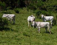 Placid cows...