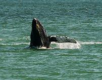 Whale Watching, Juneau Alaska, June 2015