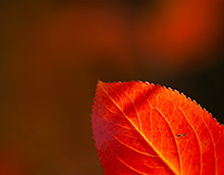 Glowing Red Leaf