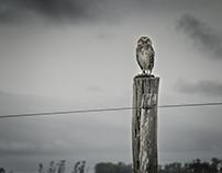 Aves del campo uruguayo