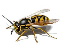 Wasp, sketch