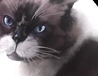 Portrait of a snow shoe cat