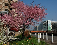 Ichikawa Cherry Blossom, Chiba, Japan