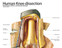 Dissection illustration: the knee