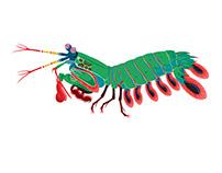 Mantis Shrimp interactive animation for AMNH