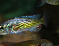 "Harpagochromis sp. ""orange rock hunter"""