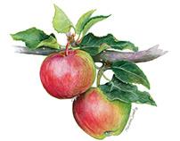 Fox apples illustration