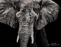 the elephant goes three by three