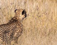 Cheetahs, hunting