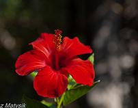 Kwiat hibiskusa z Rodos