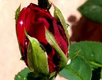 Sparkling Rose bud