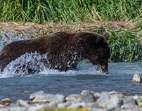 Alaska, Bear eating a salmon