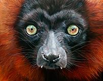 Red Ruffed Lemur - 2017