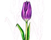 Tulip / Hand drawing