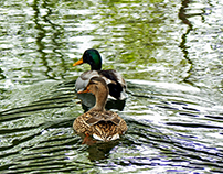 PATOS / DUCKS