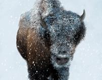 Snowy Bison digital painting