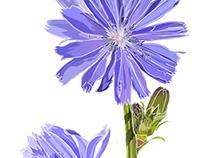 Wildflowers of Sierra Nevada: Chicory