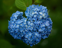 HYDRANGEA IN KAOH TOWN, YAMAGA CITY, JAPAN