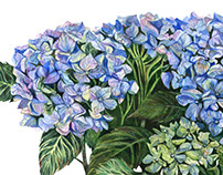 Hortensia watercolor illustration