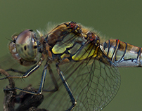 Photo Series: Nature / Case 7: Dragonfly