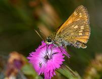 Macro insects, Ochlodes sylvanus.