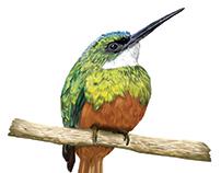 Ilustración Científica - Gálbula Ruficauda