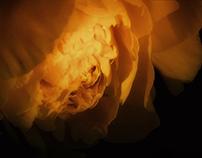 Black Background Flowers III