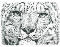 Snow Leopard Pencil Drawing