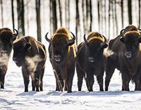 Bison bonasus. Poland