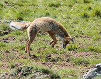 Renarde en chasse Janvier 2017